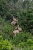 Lecture rapide Kudu Photographie stock libre de droits