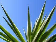 Lecznicza aloes roślina Fotografia Royalty Free