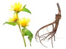 Lecznicza roślina. Omanowy (Inula helenium) fotografia stock