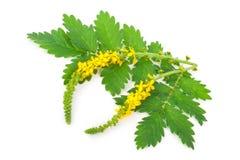 Lecznicza roślina: Agrimonia eupatoria Obrazy Stock
