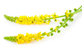 Lecznicza roślina: Agrimonia eupatoria Pospolity agrimony Obrazy Royalty Free