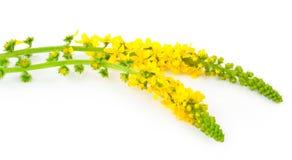 Lecznicza roślina: Agrimonia eupatoria Pospolity agrimony Fotografia Royalty Free
