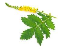 Lecznicza roślina: Agrimonia eupatoria Pospolity agrimony Zdjęcia Royalty Free