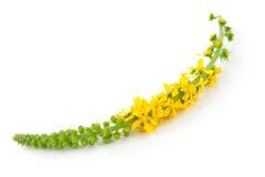 Lecznicza roślina: Agrimonia eupatoria Pospolity agrimony Obraz Stock