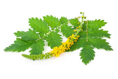 Lecznicza roślina: Agrimonia eupatoria Pospolity agrimony Obraz Royalty Free