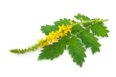 Lecznicza roślina: Agrimonia eupatoria Pospolity agrimony Zdjęcie Royalty Free