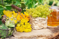 Lecznicze rośliny, zbierający leczniczy ziele, ziołowa herbata obrazy royalty free