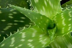 Aloesu Vera szczegół Zdjęcie Royalty Free