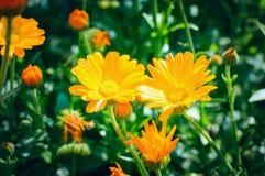 Leczniczej rośliny kwiatu Calendula officinalis ethnoscience fotografia stock
