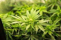 Leczniczy indica z CBD Marihuana na początku kwiecenia Zielony tło liście Młoda marihuany roślina obraz stock