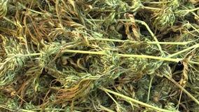 Leczniczy marihuana konopie zbierał wysuszonych ilości ziarna dla produkci maści i śmietanki rozwijać naukowami zbiory wideo