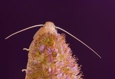 leczniczy ornamentacyjnej rośliny salicifolia spiraea Zdjęcia Stock