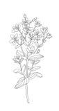 Leczniczy ziele i kwiatu hypericum Zdjęcia Stock