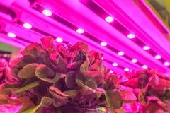 LED照明设备曾经种植在仓库里面的莴苣 免版税库存照片