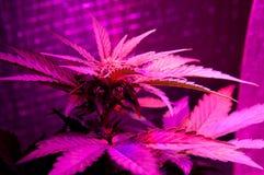 Free Led Grow Marijuana Royalty Free Stock Photos - 81729408