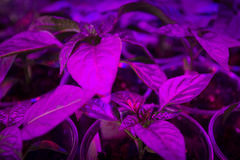 LED lighting Grow plants Royalty Free Stock Image