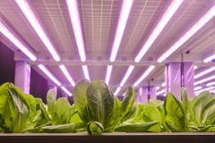 Romaine lettuce grow with Led Light stock photo