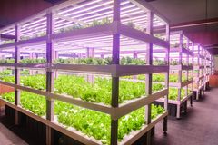 Free Led Plant Growth Lamp Used In Vertical Agriculture Stock Image - 124143911