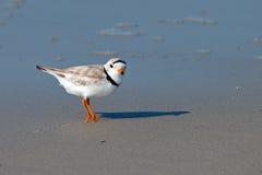 Leda i rör brockfågeln Royaltyfria Foton