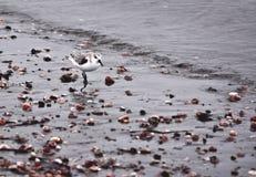 Leda i rör brockfågeln längs stranden Royaltyfri Fotografi