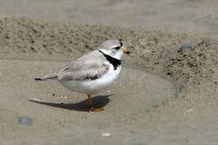 Leda i rör brockfågeln på stranden Royaltyfri Bild