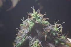 Ledar- kushcannabisblommor Arkivbild
