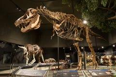 LEDARE 12 Juli 2017, Bozeman Montana, museum av de steniga bergen, tyrannosarie Rex Fossil Exhibit royaltyfri foto