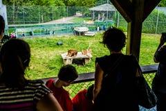 Ledare - Juli 29, 2014 på den Parc safari, Quebec, Kanada Arkivfoton