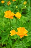 Ledebour globeflower (Trollius ledebourii) obraz stock