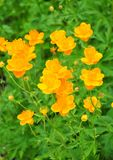Ledebour globeflower (Trollius ledebourii) Stock Images