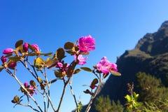 Ledebourii do rododendro na flor Montanhas de Altai, república de Altai, Rússia imagem de stock