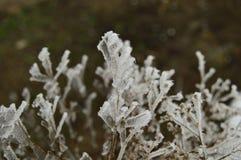 Ledenev buisson Images stock