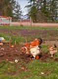 Lederfarbene Braham Hühner und Hahn in der Feder Lizenzfreies Stockbild