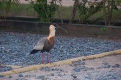 Lederfarbener necked IBIS-Vogel im Pantanal, Brasilien Stockbilder
