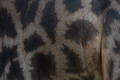 Lederne Haut der Giraffe, echtes Hautleder Stockbild