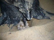 Lederschildkröte stockbild
