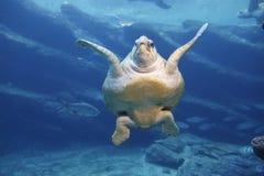 Lederschildkröte-Schwimmen Stockbild