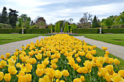 Lednice Tulips. Gorgeous yellow tulips in Lednice, Czech Republic Royalty Free Stock Image