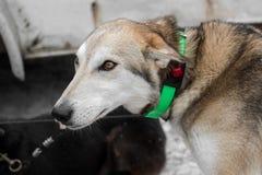 Ledningsslädehund med den tända kragen Arkivfoton