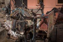 Ledsen åsna i en Marrakech garveri royaltyfri bild