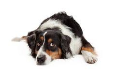 Ledsen australisk herde Dog Laying Arkivbild