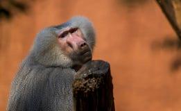 Ledsen babian Arkivfoto
