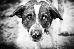 Ledsen blickhund Royaltyfri Bild