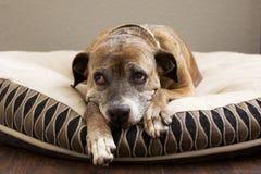 Ledsen brun hund på säng Royaltyfri Foto
