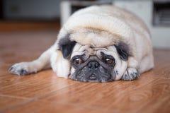 Ledsen framsida för mopshund arkivbilder