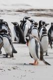 Ledsen gentoopingvin med magellanic pingvin Fotografering för Bildbyråer