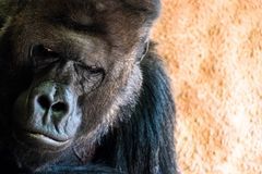 Ledsen gorilla p? arkivfoto