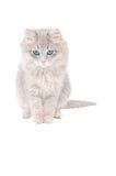 Ledsen grå kattunge Arkivbilder