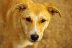 Ledsen hemlös tellowhund Royaltyfri Bild
