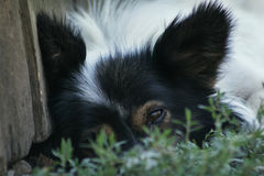 Ledsen hund för land Royaltyfria Bilder
